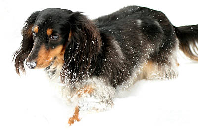 Dachshund Art Photograph - Sniffing Out Snow by Lisa Conner