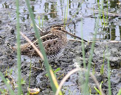 Photograph - Snipe by Peggy King
