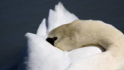 Snoozer - Swan Print by Travis Truelove