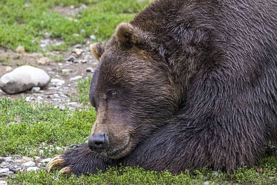 Photograph - Snoozing Grizzly by Saya Studios