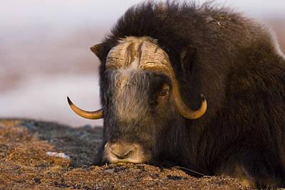 Winter Sleep Photograph - Snoozing Musk Ox by Tim Grams