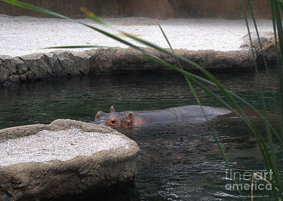 Photograph - Snorkeling Hippo by Luther Fine Art