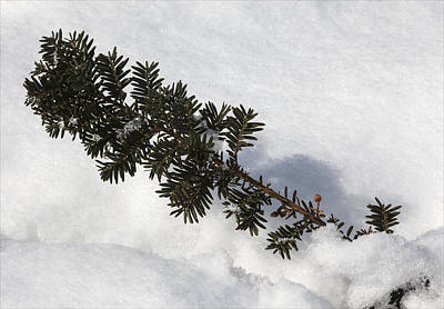 Snow And Pine Needles Art Print