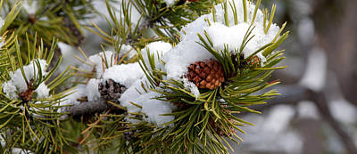 Photograph - Snow And Pinecone by Shari Sommerfeld