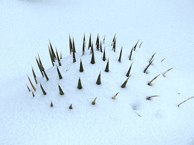 Photograph - Snow And Spines by Laurel Powell
