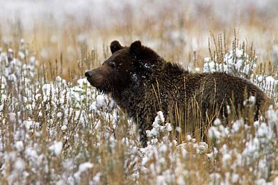 Photograph - Snow Bear by Shari Sommerfeld