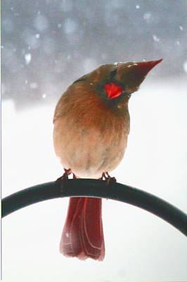 Photograph - Snow Bird by Diane Merkle