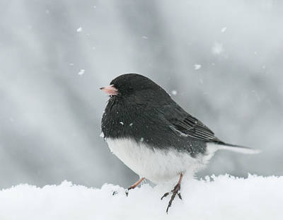Photograph - Snow Bird by Lara Ellis