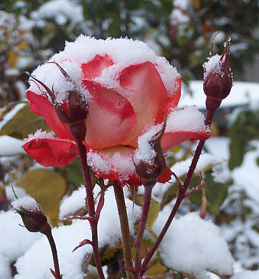 Photograph - Snow Blooms by Claudia Goodell