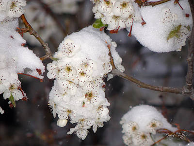 Photograph - Snow Blossoms by George Tuffy