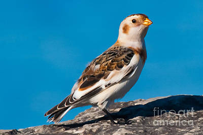 Petrie Island Photograph - Snow Bunting by Robert McAlpine