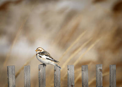 January Jones Photograph - Snow Bunting by Vicki Jauron