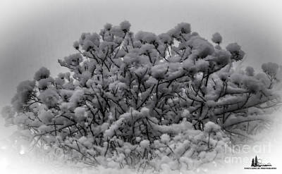 Photograph - Snow Bush by Grace Grogan