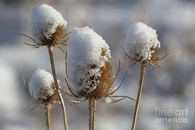 Photograph - Snow-capped Common Teasels by Jackie Farnsworth