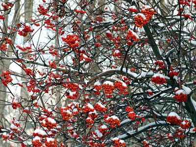 Snow- Capped Mountain Ash Berries Art Print