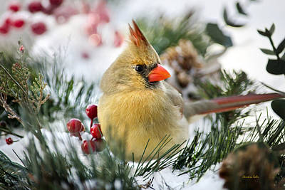 Photograph - Snow Cardinal by Christina Rollo