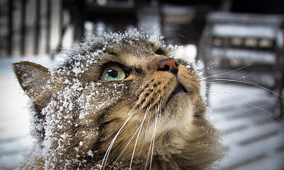 Maine Coon Photograph - Snow Cat by Shane Holsclaw