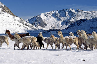Photograph - Snow Covered Alpacas Peru by Craig Lovell