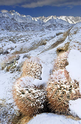 Art Print featuring the photograph Snow Covered Cactus Below Mount Whitney Eastern Sierras by Dave Welling