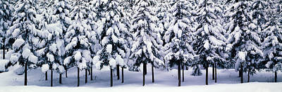 Snow Covered Cedar Trees Kyoto Hanase Art Print by Panoramic Images