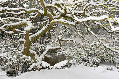 Sutton Photograph - Snow-covered Japanese Maple, Portland by William Sutton