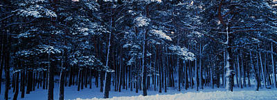 Cote Dazur Photograph - Snow Covered Pine Trees In Winter by Panoramic Images