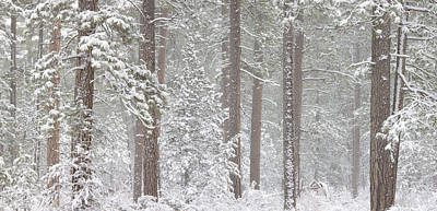 Snow Covered Ponderosa Pine Trees Art Print by Panoramic Images