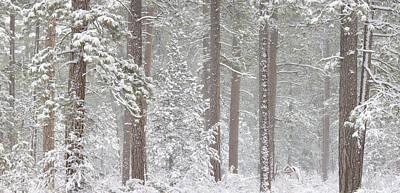 Ponderosa Pine Photograph - Snow Covered Ponderosa Pine Trees by Panoramic Images