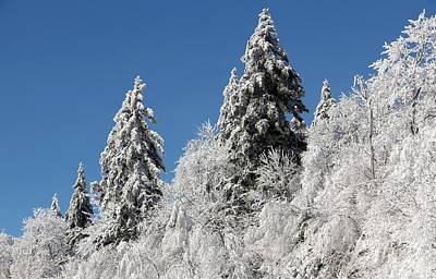 Photograph - Snow Covered Red Spruce by Carolyn Postelwait
