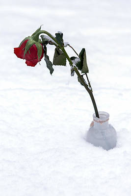 Snowbound Photograph - Snow-covered Rose by Joana Kruse
