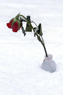 Snow-covered Rose Print by Joana Kruse