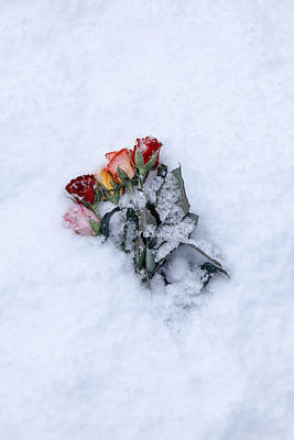 Snowbound Photograph - Snow-covered Roses by Joana Kruse