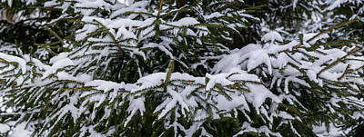 Snow Covered Spruce Tree - Featured 2 Art Print by Alexander Senin