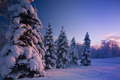 Snow Covered Spruce Trees At Sunset Art Print
