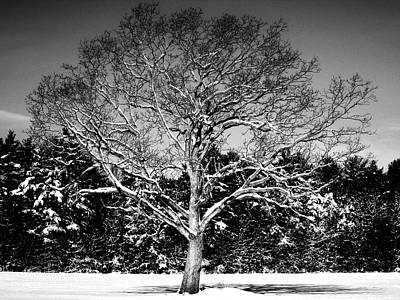 Photograph - Snow Covered Tree by CJ Rhilinger