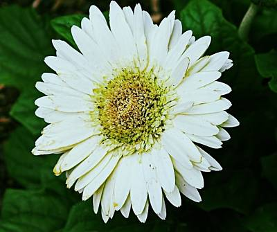 Photograph - Snow Daisy by Sarah E Kohara