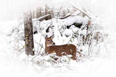 Snow Doe Art Print by Karol Livote