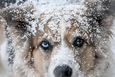 Photograph - Snow Dog by Carol Erikson