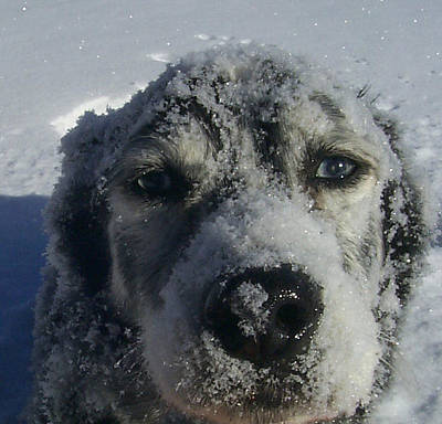 Photograph - Snow Dog by Claudia Goodell