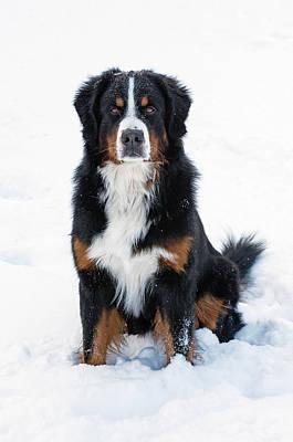 Photograph - Snow Dog II by Jim Zablotny