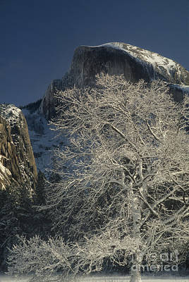 Photograph - Snow-draped Black Oak Half Dome Yosemite Np California by Dave Welling