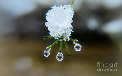 Photograph - Snow Drops Tears  by Peggy Franz