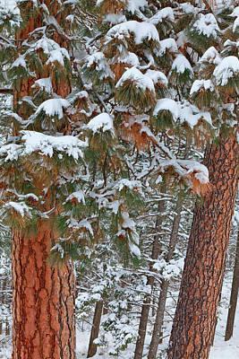 Ponderosa Pine Photograph - Snow Fills The Boughs Of Ponderosa Pine by Chuck Haney
