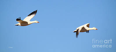 Photograph - Snow Geese 3 by Roena King