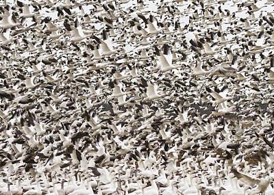 Snow Geese Blast Off Art Print by Bill Swindaman