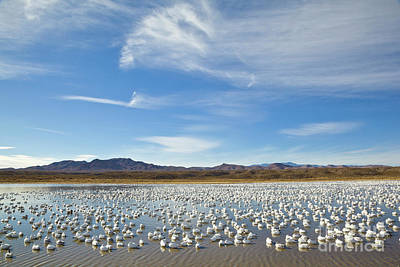 Photograph - Snow Geese Bosque Del Apache  by Yva Momatiuk John Eastcott
