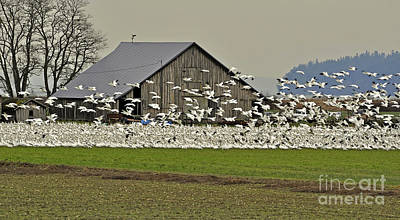 Photograph - Snow Geese By Old Barn Art Prints by Valerie Garner