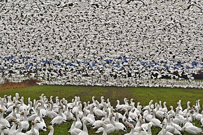 The Flight Of The Snow Geese Photograph - Snow Geese By The Thousands by Valerie Garner