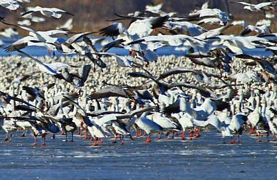 Photograph - Snow Geese by Deb Buchanan