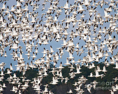 Photograph - Snow Geese Flight by Dale Nelson